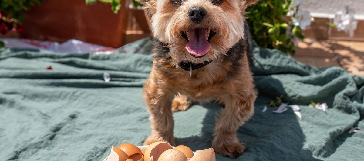 Yorkshire terrier standing in front of a bowl of egg shells.