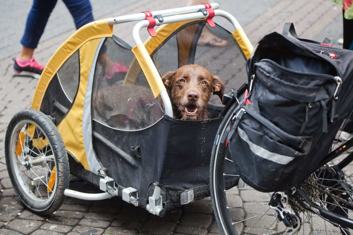 Brown dog sitting in a yellow dog bike trailer.