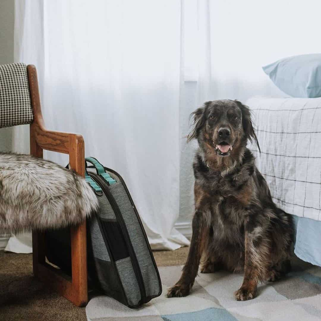 Dog sitting upright on the floor at the end of a bed with a folded dog travel bed next to him.