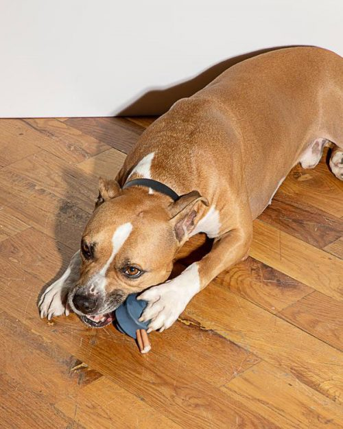 Boxer style dog on the floor with a chew toy